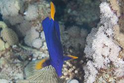 BD-120424-Marsa-Alam-6314-Zebrasoma-xanthurum-(Blyth.-1852)-[Yellowtail-tang].jpg